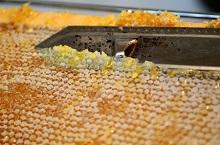 Пчелиная перга: полезные свойства