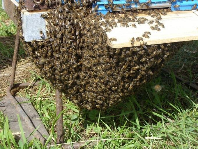 На пчелиные семьи цены могут отличаться из-за многих факторов