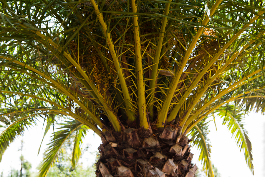 Информация о пальмовом сорте меда