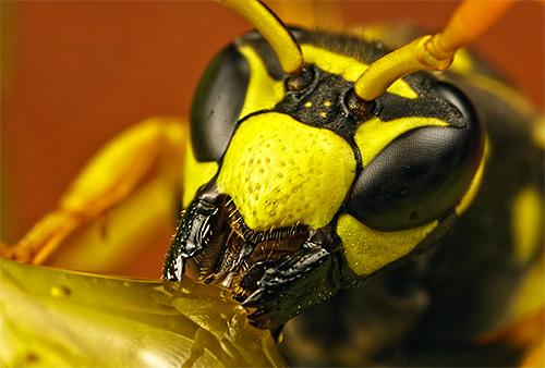 Чем отличается укус пчелы от укуса осы