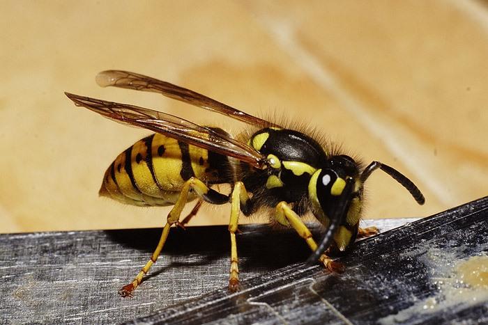 Как помочь при укусе пчелы