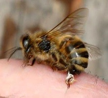Продажа яда пчелы