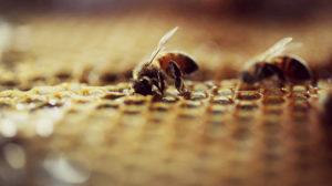 Вывели новый вид медоносных пчел